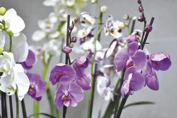 Cesta de orquídeas phalaenopsis