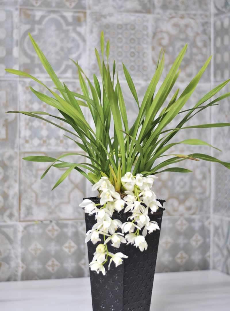 Regalar orquídeas blancas originales