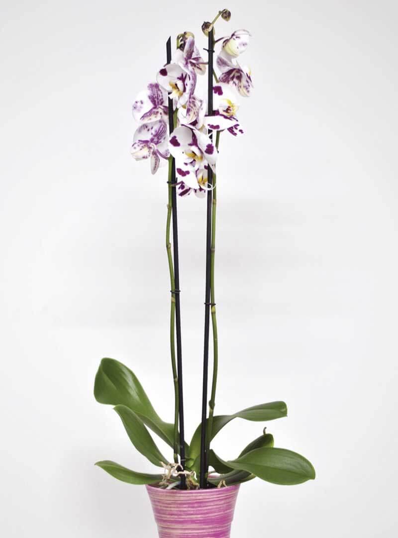 regalar orquídeas a domicilio