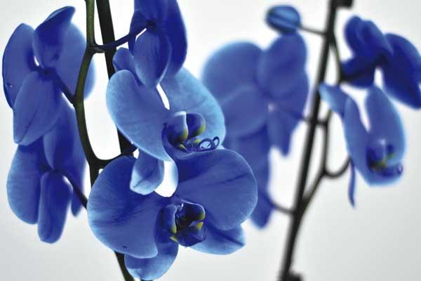 Comprar orquídea azul tratada