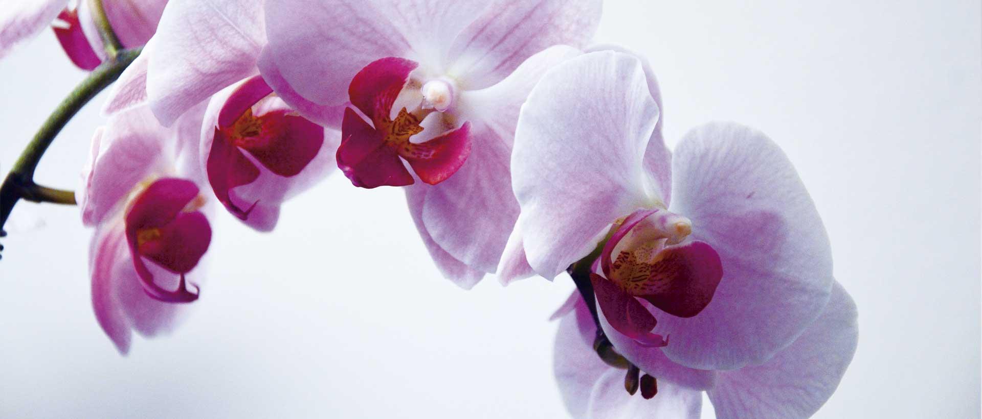 orquídea rosa phalaenopsis